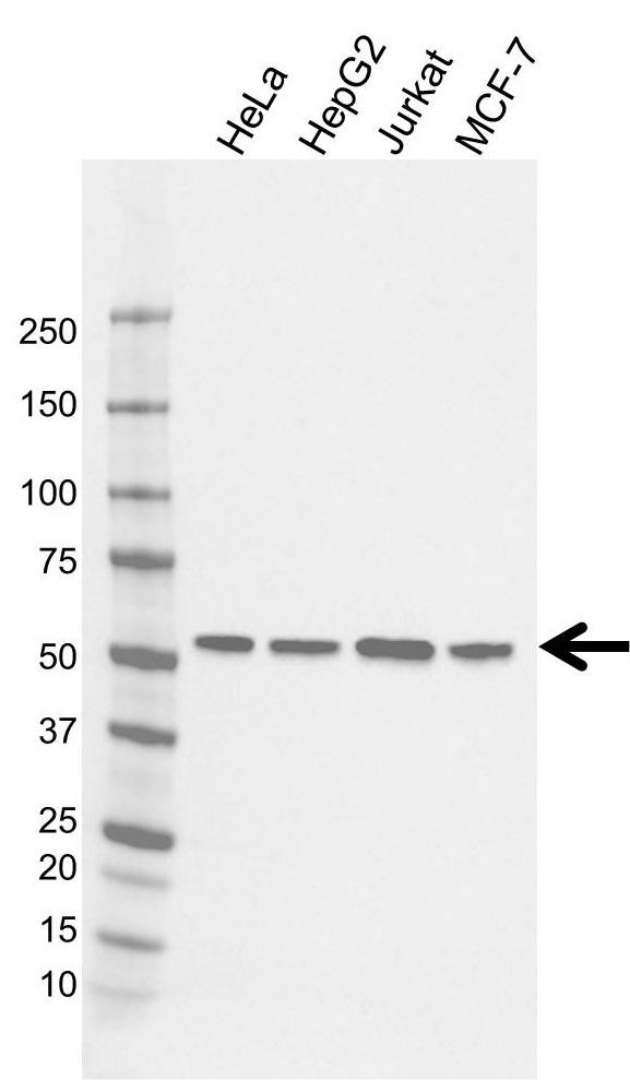 Anti RAD23A Antibody, clone CD01/2B1 (PrecisionAb Monoclonal Antibody) gallery image 1