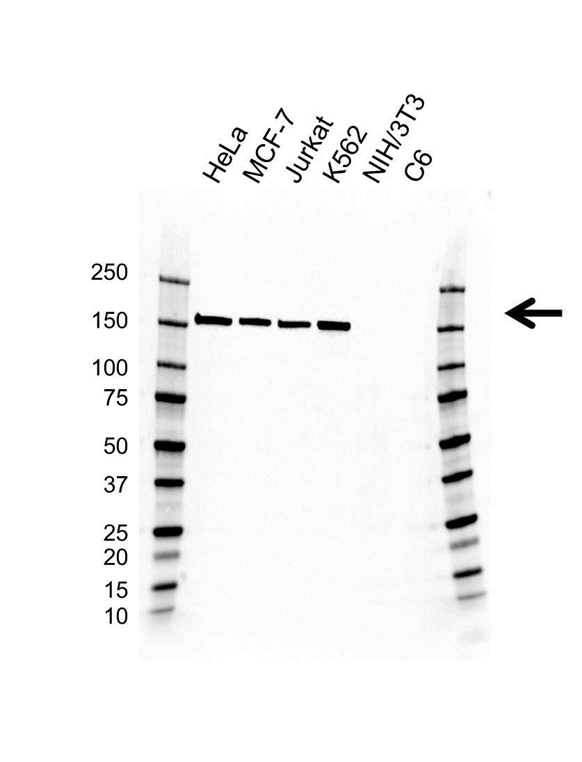 Anti RAD50 Antibody, clone AB01/1A7 (PrecisionAb Monoclonal Antibody) gallery image 1