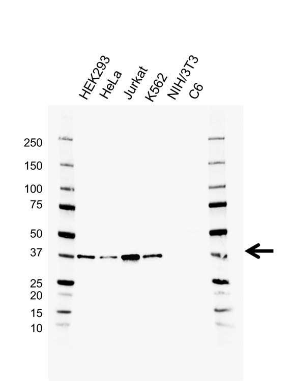 Anti RAD51 Antibody, clone AB02/1A3 (PrecisionAb Monoclonal Antibody) gallery image 1