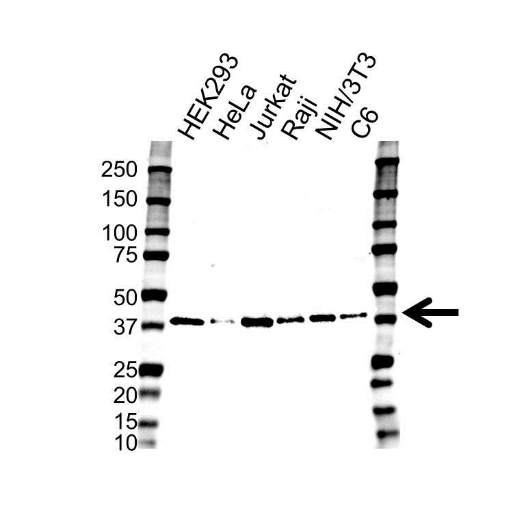 Anti RAD51 Antibody (PrecisionAb™ Monoclonal Antibody) gallery image 1