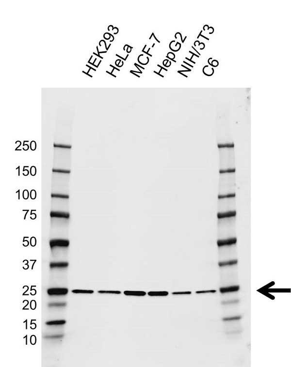 Anti Rala Antibody, clone AB01/3E3 (PrecisionAb Monoclonal Antibody) gallery image 1