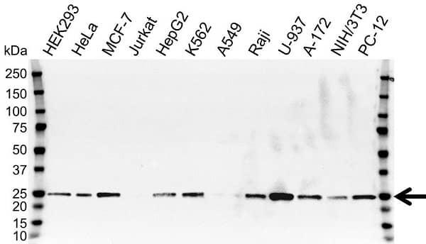 Anti RALB Antibody, clone OTI2C4 (PrecisionAb Monoclonal Antibody) gallery image 1