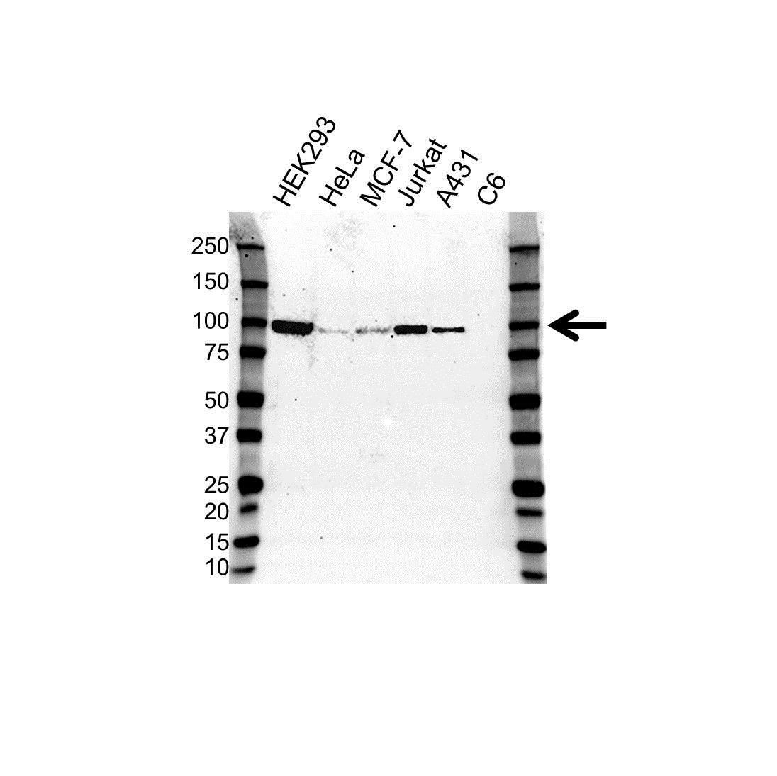 Anti RALBP1 Antibody, clone OTI11B2 (PrecisionAb Monoclonal Antibody) gallery image 1