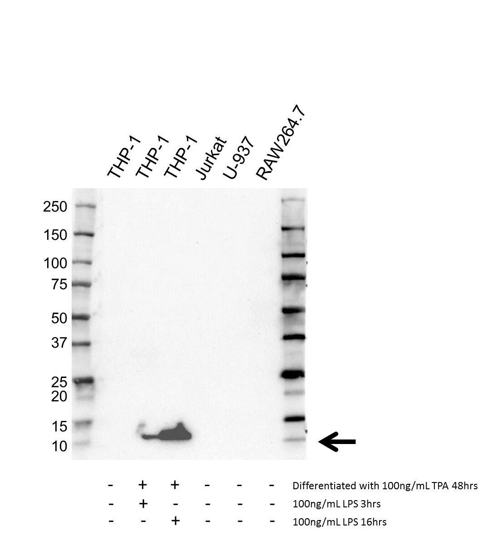 Anti RANTES Antibody, clone OTI2A7 (PrecisionAb™ Monoclonal Antibody) gallery image 1