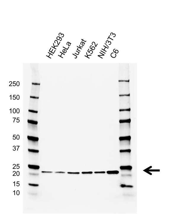 Anti RAP1A/B Antibody, clone AB01/2C6.10.4 (PrecisionAb™ Monoclonal Antibody) gallery image 1