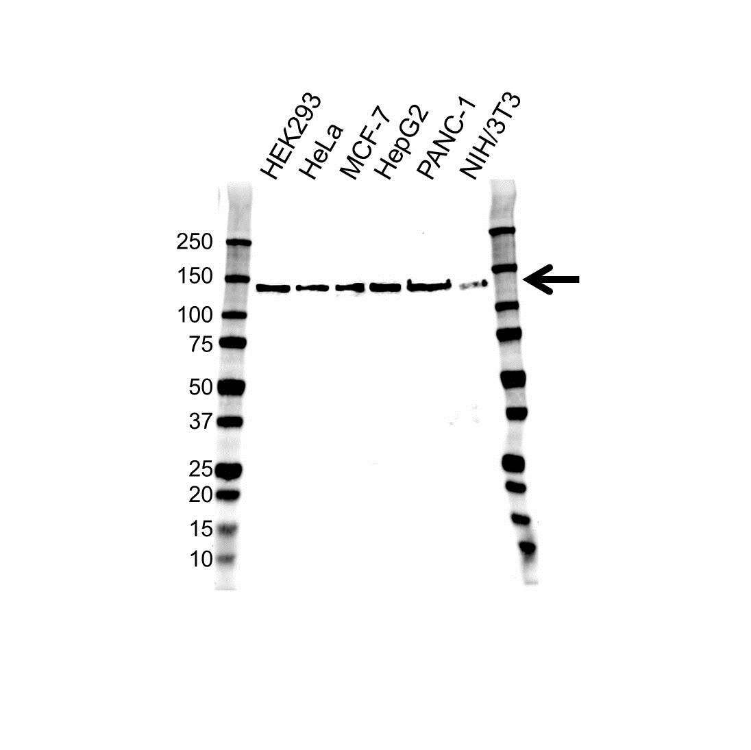 Anti RAPTOR Antibody, clone 1A9 (PrecisionAb™ Monoclonal Antibody) gallery image 1