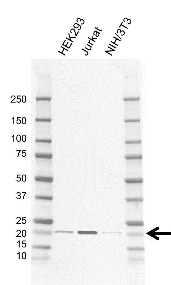 Anti RBM8A Antibody, clone AB02/4G3 (PrecisionAb Monoclonal Antibody) gallery image 1