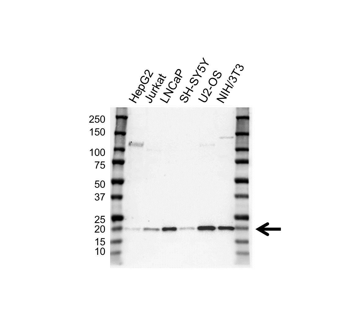 Anti RHOC Antibody, clone OTI3A5 (PrecisionAb Monoclonal Antibody) gallery image 1