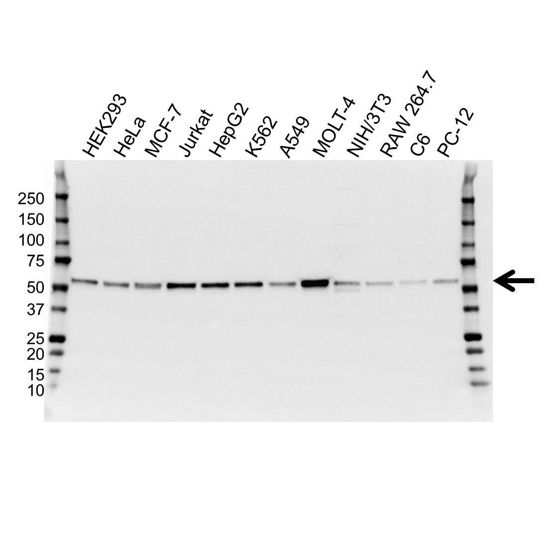 Anti RING1 Antibody (PrecisionAb™ Monoclonal Antibody) gallery image 1