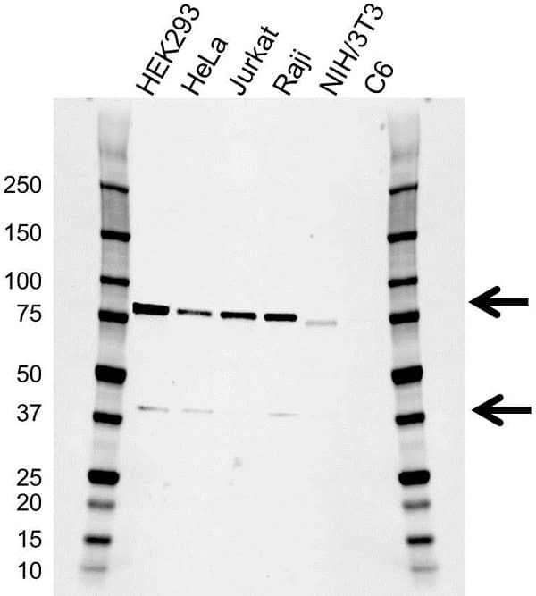 Anti RIPK1 Antibody, clone AB01/3C7 (PrecisionAb Monoclonal Antibody) thumbnail image 1