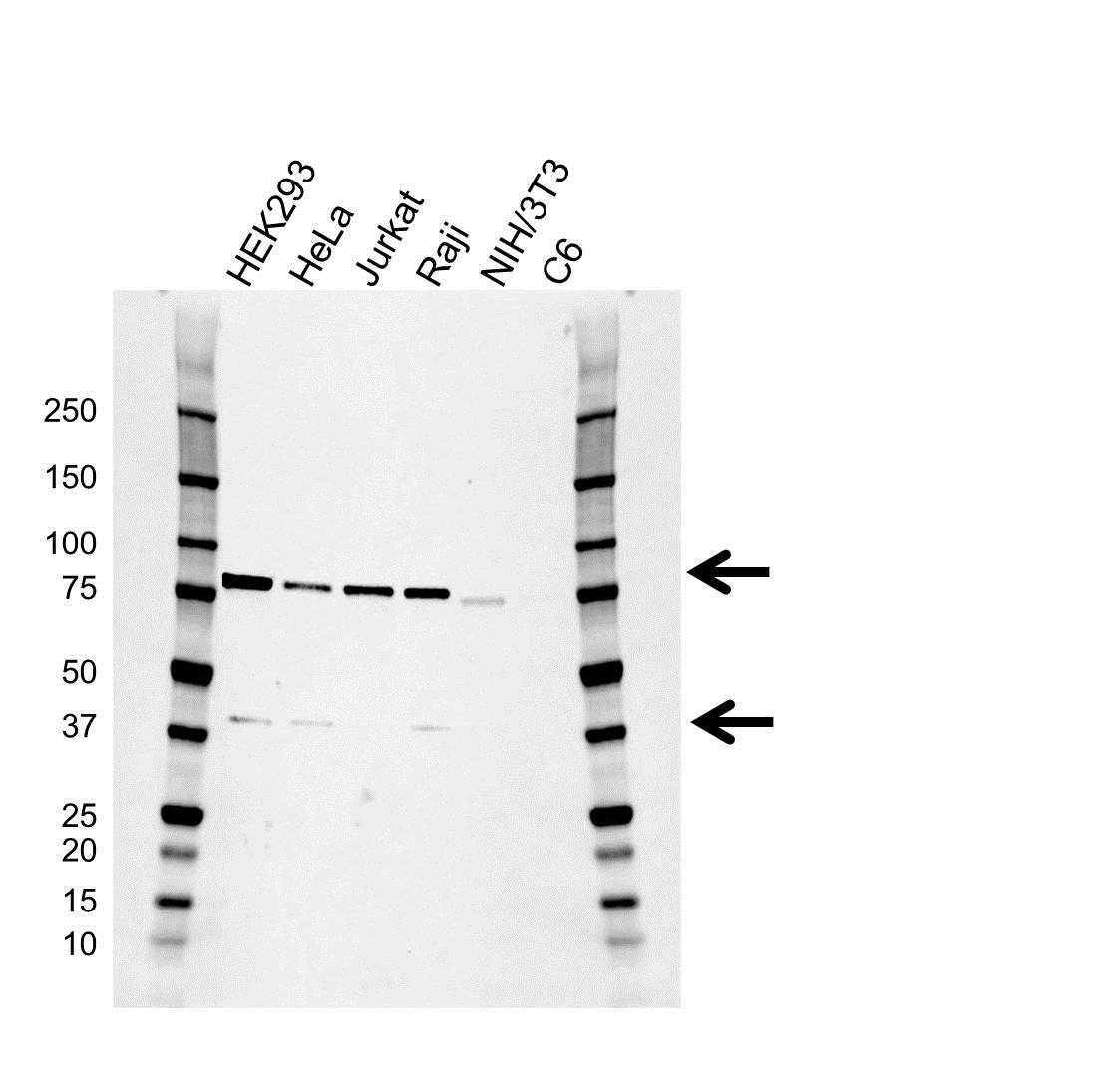 Anti RIPK1 Antibody (PrecisionAb™ Monoclonal Antibody) gallery image 1