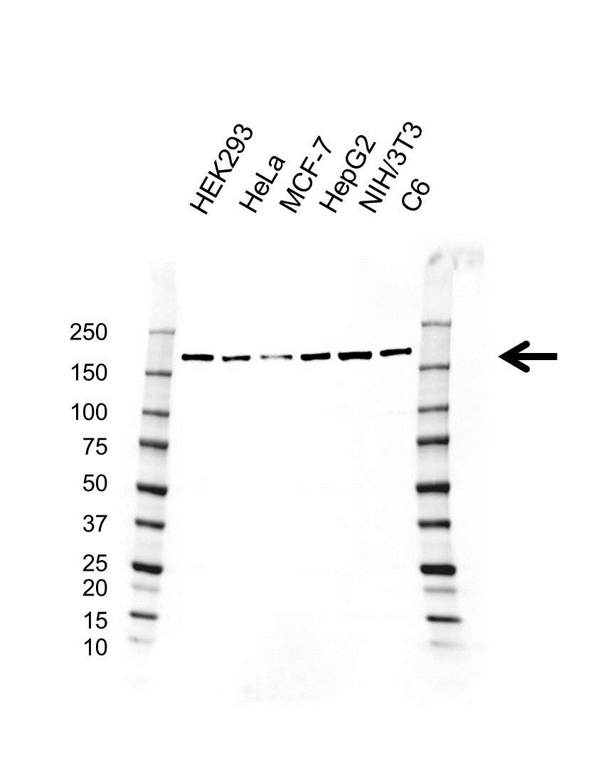 Anti ROCK1 Antibody, clone AB01/1F3 (PrecisionAb Monoclonal Antibody) gallery image 1