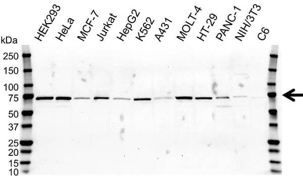 Anti RPA1 Antibody (PrecisionAb Monoclonal Antibody) gallery image 1