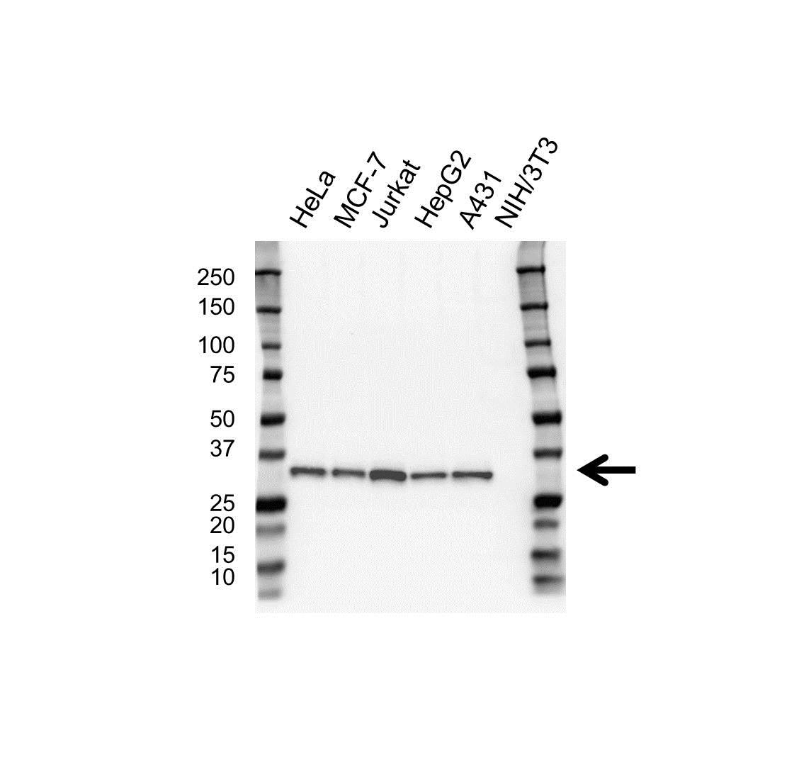 Anti RPA2 Antibody, clone OTI9A1 (PrecisionAb™ Monoclonal Antibody) gallery image 1