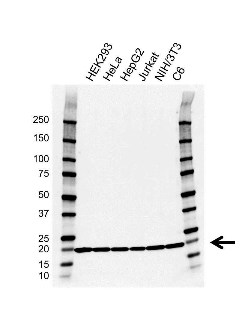 Anti RPL11 Antibody, clone EF01/3G9 (PrecisionAb Monoclonal Antibody) gallery image 1