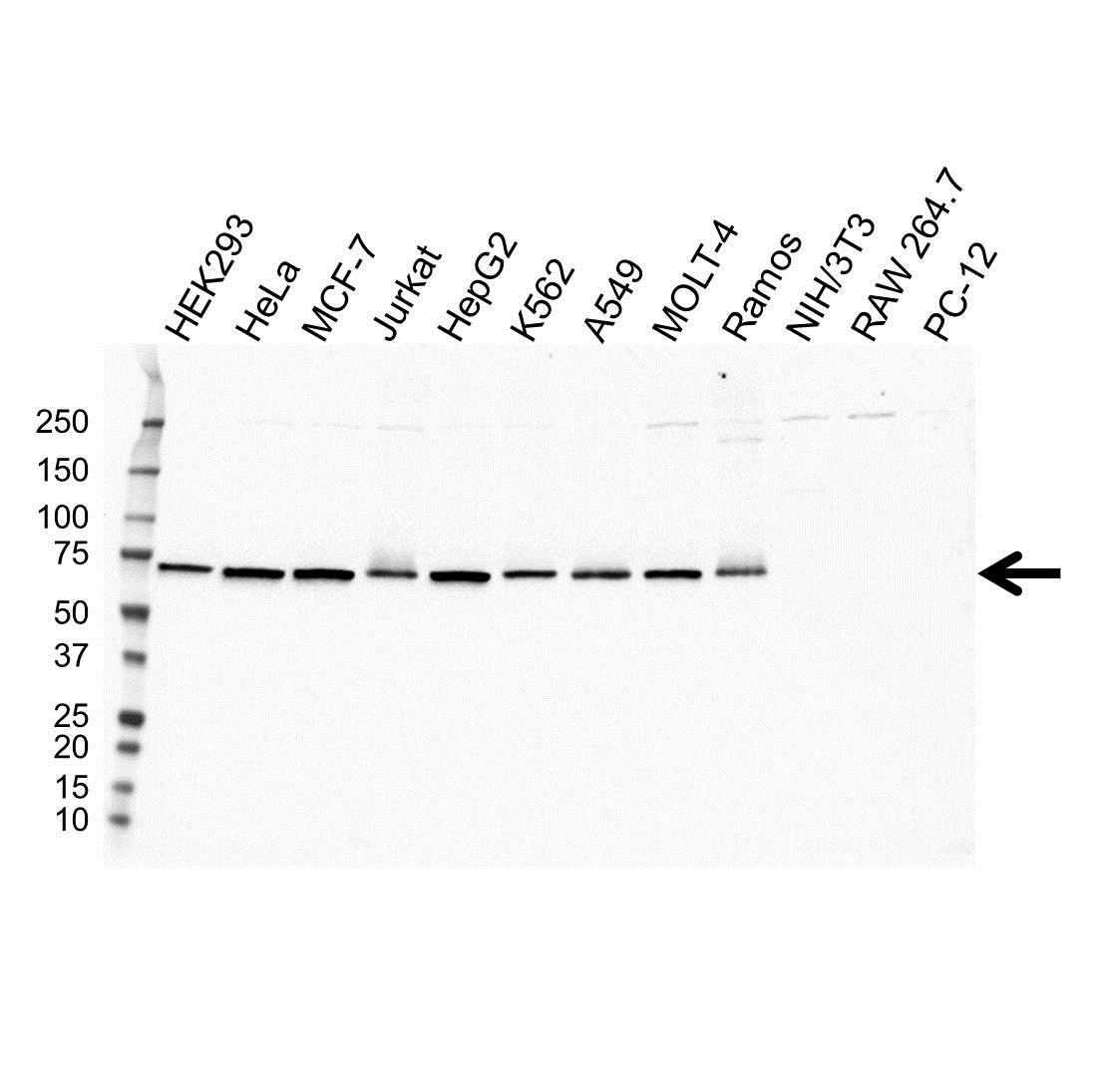 Anti RPN1 Antibody, clone OTI5B1 (PrecisionAb Monoclonal Antibody) gallery image 1