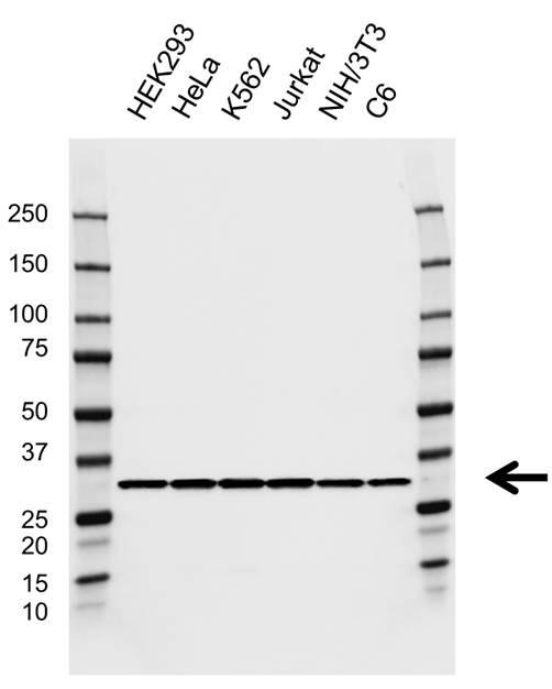 Anti RPS2 Antibody, clone EF05/3G8 (PrecisionAb Monoclonal Antibody) gallery image 1