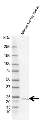 Anti RPS5 Antibody, clone rCD02-2C12 (PrecisionAb Monoclonal Antibody) thumbnail image 2
