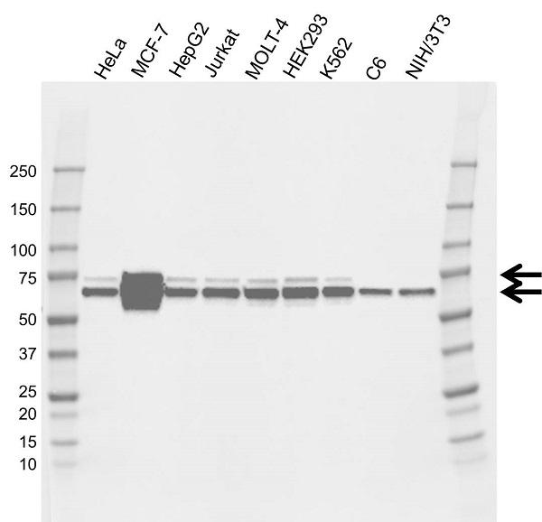 Anti RPS6KB1 Antibody, clone CD04/4D3 (PrecisionAb Monoclonal Antibody) gallery image 1