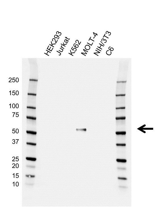 Anti RUNX1 Antibody (PrecisionAb Monoclonal Antibody) gallery image 1