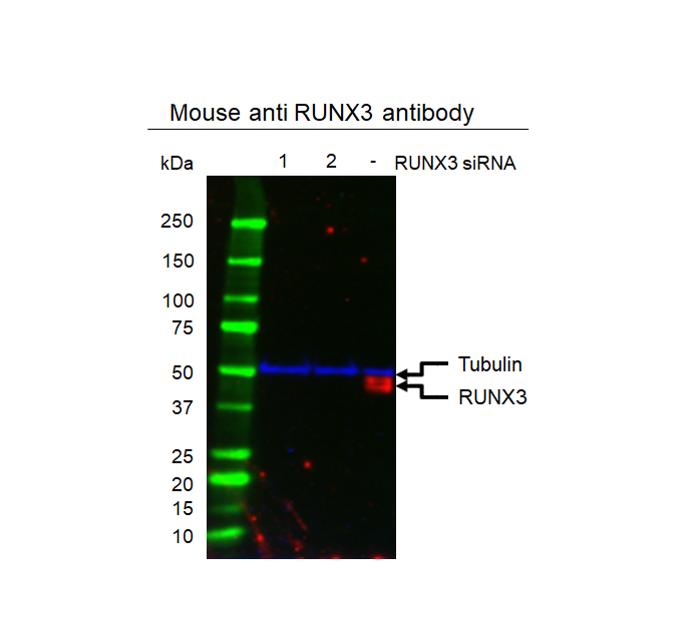Anti RUNX3 Antibody, clone 2B3 (PrecisionAb Monoclonal Antibody) thumbnail image 2