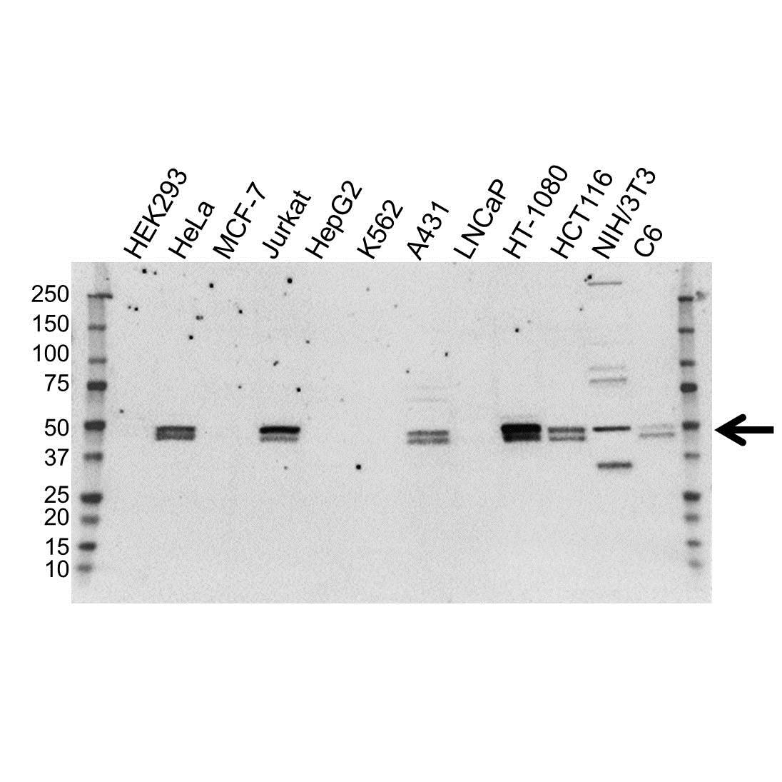 Anti RUNX3 Antibody (PrecisionAb Monoclonal Antibody) gallery image 1
