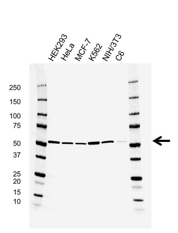 Anti RUVBL1 Antibody, clone AB04/2E9 (PrecisionAb Monoclonal Antibody) gallery image 1