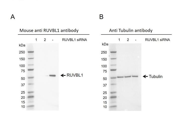 Anti RUVBL1 Antibody, clone AB04/2E9 (PrecisionAb Monoclonal Antibody) thumbnail image 2
