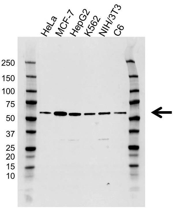 Anti RXR Alpha Antibody, clone AB02/1D10 (PrecisionAb Monoclonal Antibody) gallery image 1