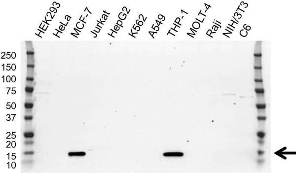 Anti S100A9 Antibody, clone OTI10D5 (PrecisionAb Monoclonal Antibody) gallery image 1