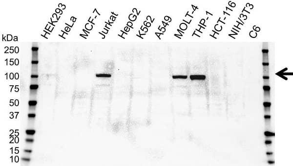 Anti SATB1 Antibody, clone OTI13D6 (PrecisionAb Monoclonal Antibody) gallery image 1
