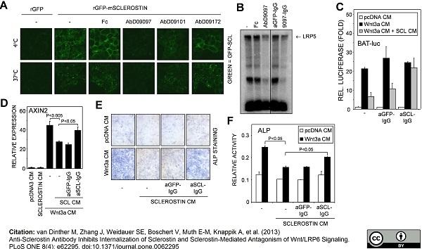 Anti Sclerostin Antibody, clone AbD09097_h/mIgG2a gallery image 1