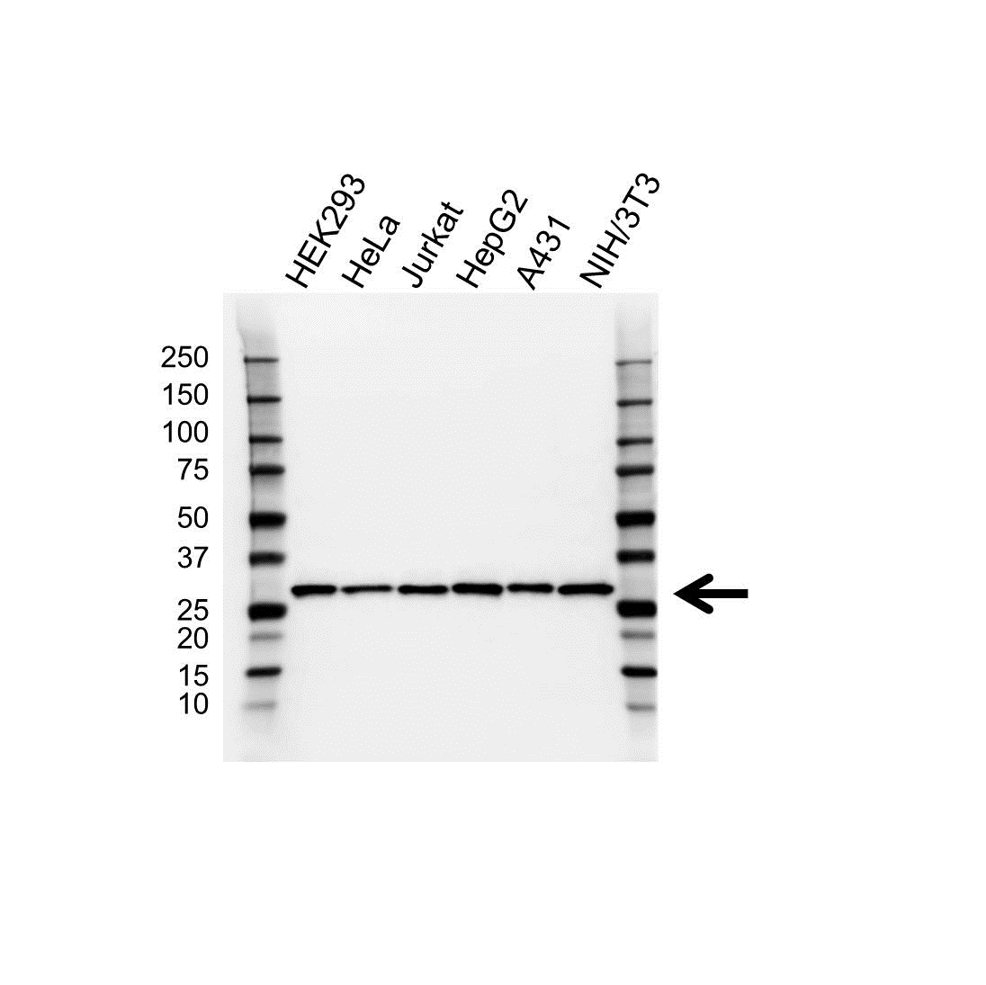 Anti Sdhb Antibody, clone 2A3 (PrecisionAb™ Monoclonal Antibody) gallery image 1