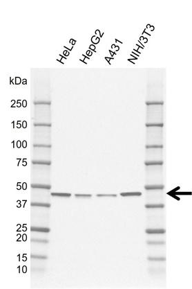Anti SERPINH1 Antibody, clone AB01/3C1 (PrecisionAb Monoclonal Antibody) gallery image 1