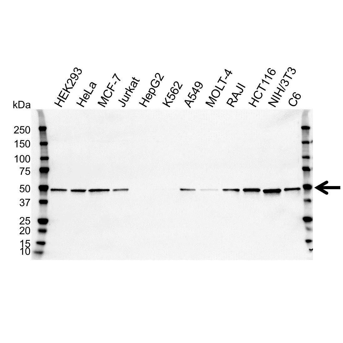Anti SETD7 Antibody, clone OTI2D10 (PrecisionAb™ Monoclonal Antibody) gallery image 1