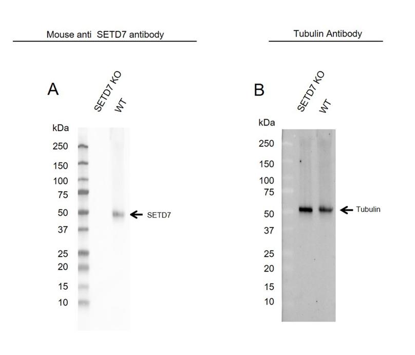 Anti SETD7 Antibody, clone OTI2D10 (PrecisionAb Monoclonal Antibody) thumbnail image 1