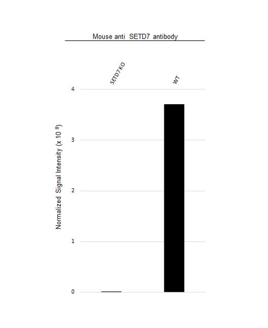 Anti SETD7 Antibody, clone OTI2D10 (PrecisionAb Monoclonal Antibody) thumbnail image 2
