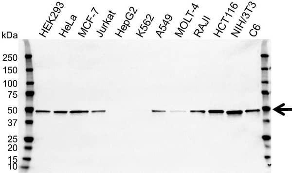 Anti SETD7 Antibody, clone OTI2D10 (PrecisionAb Monoclonal Antibody) thumbnail image 3