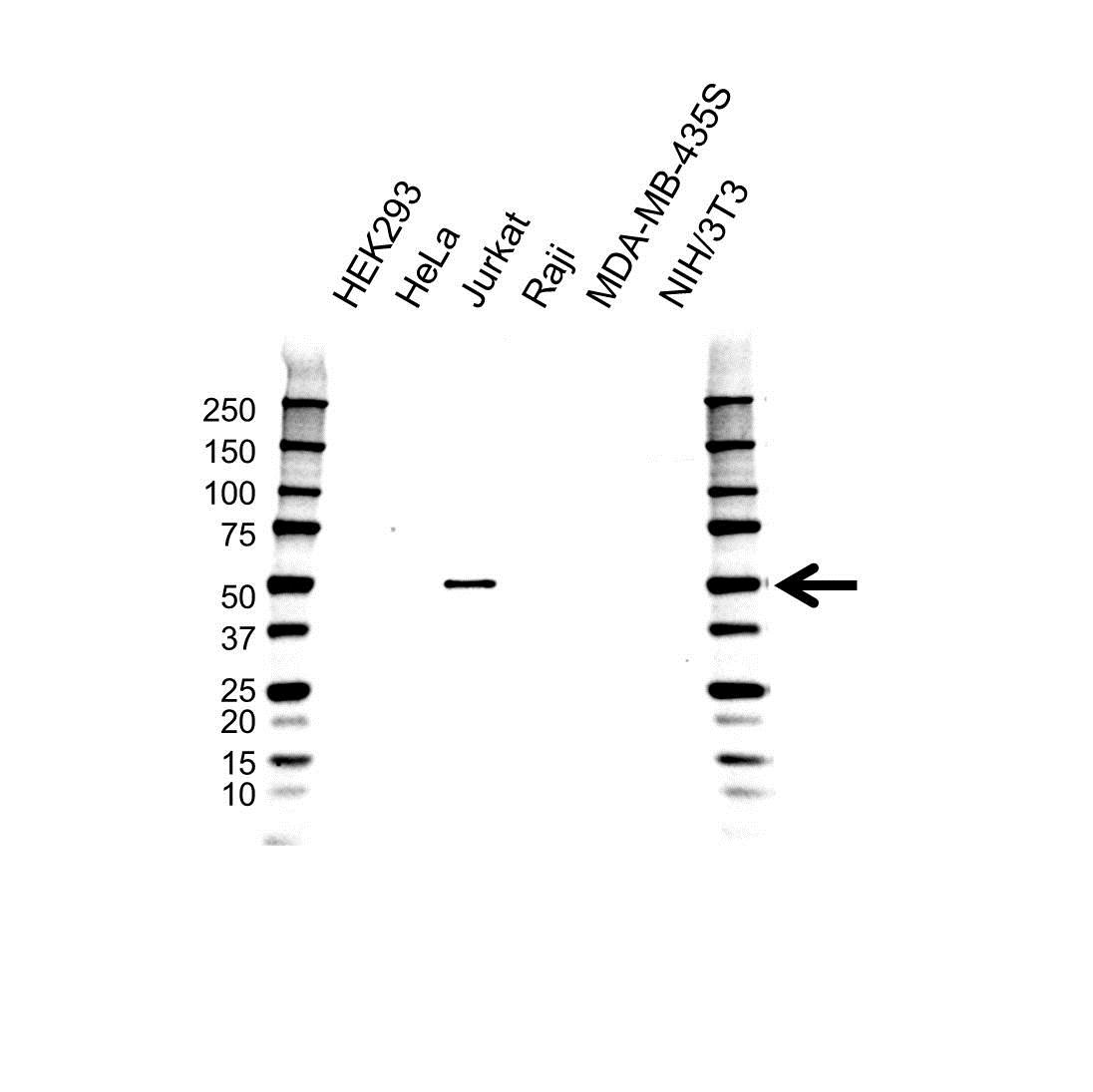 Anti SH2D2A Antibody, clone OTI6G1 (PrecisionAb™ Monoclonal Antibody) gallery image 1