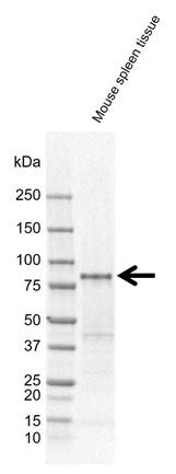 Anti SH3KBP1 Antibody, clone rAB01-4D6 (PrecisionAb Monoclonal Antibody) thumbnail image 2