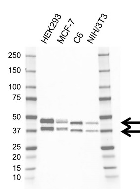 Anti SIRT2 Antibody, clone AB01/1D10 (PrecisionAb Monoclonal Antibody) thumbnail image 2