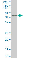 Anti Human SMAD2 Antibody, clone 3G9 thumbnail image 1