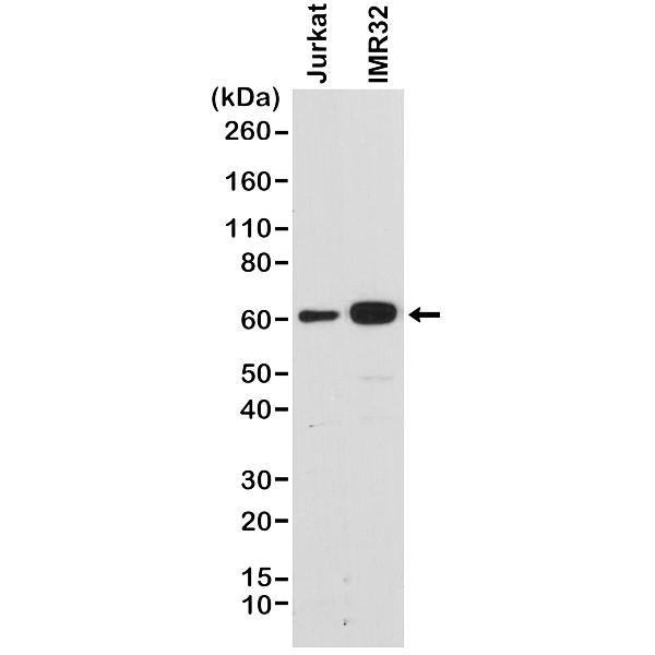 Anti SMAD4 Antibody, clone RM277 thumbnail image 1