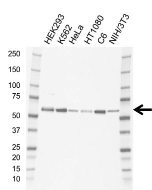 Anti SMAD5 Antibody, clone AB01/1F7 (PrecisionAb Monoclonal Antibody) gallery image 1