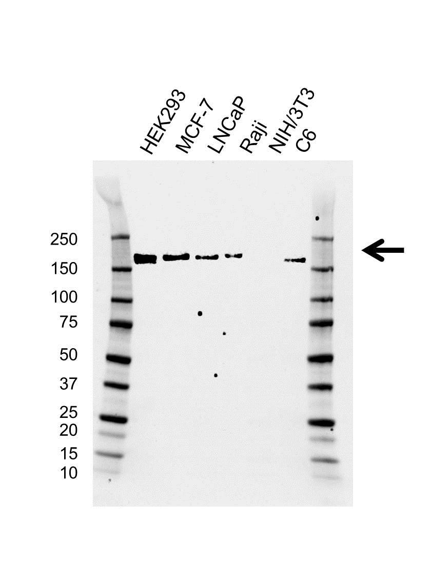 Anti SMARCC2 Antibody, clone AB02/2E2 (PrecisionAb Monoclonal Antibody) gallery image 1