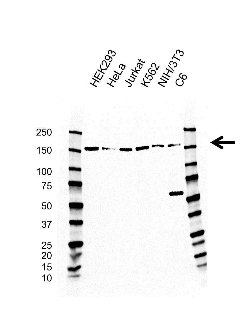 Anti SMC1A Antibody, clone AB01/4H4 (PrecisionAb™ Monoclonal Antibody) gallery image 1