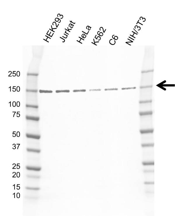 Anti SMC3 Antibody, clone AB02/4E11 (PrecisionAb Monoclonal Antibody) gallery image 1