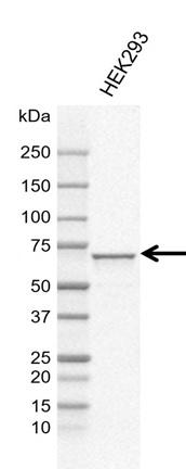 Anti SNW1 Antibody, clone CD02/1B11 (PrecisionAb Monoclonal Antibody) thumbnail image 1
