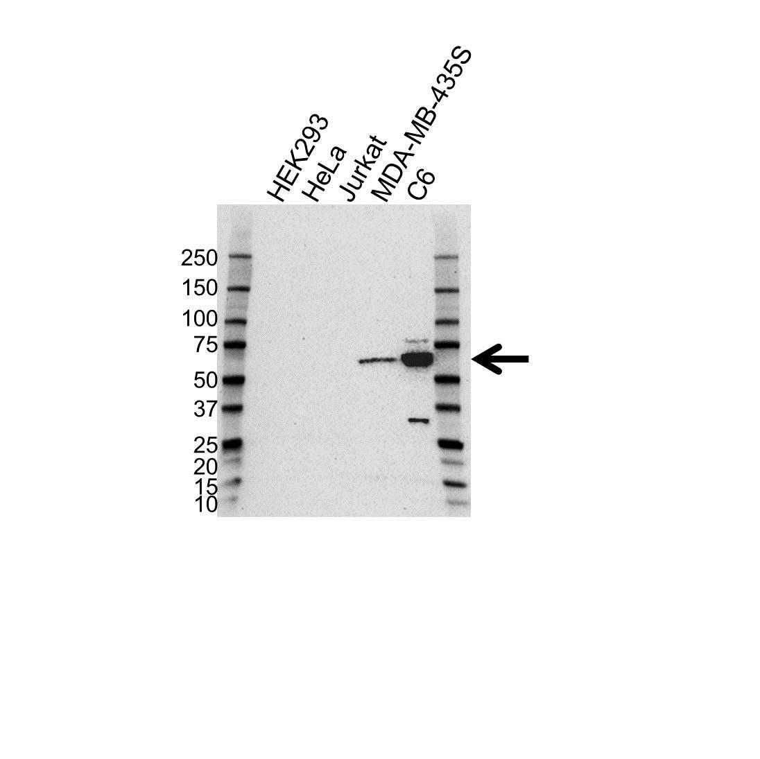 Anti SOX10 Antibody (PrecisionAb™ Monoclonal Antibody) gallery image 1