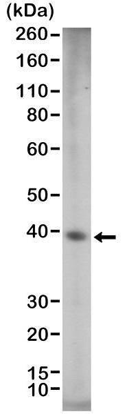 SOX2 Antibody|RM427|MCA6367
